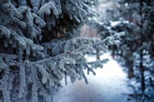 Fotos Winter Wälder Fichten Schnee Ast Natur