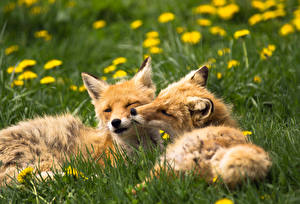 Pictures Foxes Grass Two Animals