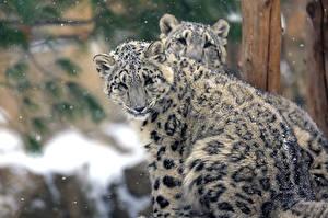 Fotos Irbis Jungtiere Große Katze Zwei Schnee Tiere