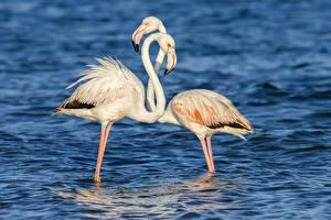 Hintergrundbilder Vogel Wasser Flamingos 2 ein Tier