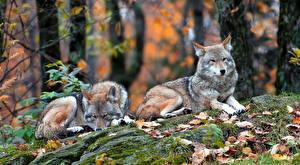 Image Wolves 2 Foliage Animals