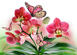 Hintergrundbilder Orchideen Schmetterlinge Großansicht Monarchfalter Blumen