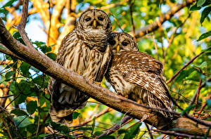 Pictures Owls Barred Owl Two Branches animal