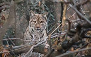 Fotos Luchse Große Katze Ast Tiere