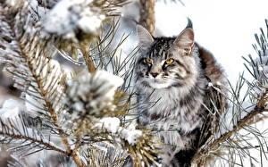 Hintergrundbilder Katze Schnee Starren Flaumig Ast Tiere