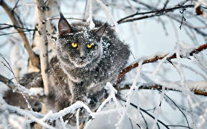 Fotos Katze Starren Ast Schnee Tiere