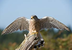 Fotos Falken Vogel Flügel Kestrel