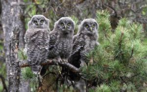 Bilder Vögel Eulen Bartkauz Drei 3 Ast ein Tier
