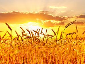 Bilder Felder Sonnenaufgänge und Sonnenuntergänge Himmel Weizen Ähre