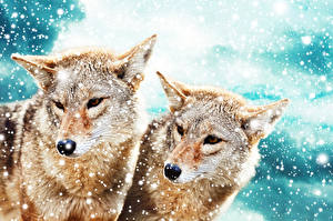 Images Wolf Two Snowflakes Animals