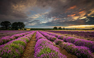 Fotos Lavendel Felder Himmel Landschaftsfotografie Wolke Blumen