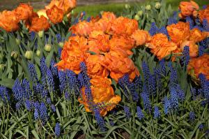 Pictures Tulips Delphinium Many Orange Flowers