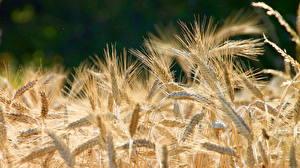 Hintergrundbilder Großansicht Weizen Ähre