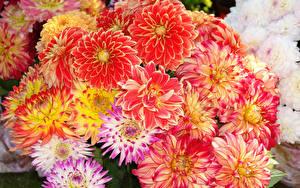 Fotos Dahlien Viel Großansicht Blüte