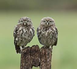 Image Bird Owl Two Little Owl Animals