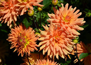 Bilder Dahlien Hautnah Orange Blüte
