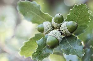 Bilder Großansicht Blatt Blattwerk Eicheln acorn Natur