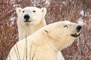 Wallpapers Bear Polar bears 2 animal