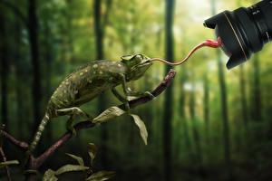 Hintergrundbilder Chamäleons Ast Tiere