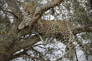 Hintergrundbilder Große Katze Leopard Bäume Ast Tiere
