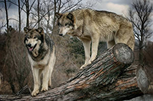 Photo Wolves Two Trunk tree Animals