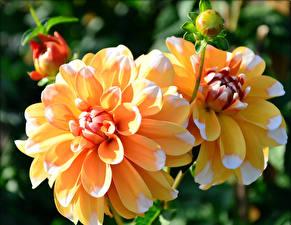 Bilder Georginen Nahaufnahme Gelb Knospe Blumen