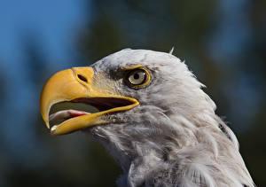 Pictures Bird Eagle Closeup Beak animal