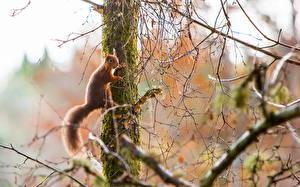 Bilder Nagetiere Eichhörnchen Baumstamm Ast Schwanz Tiere