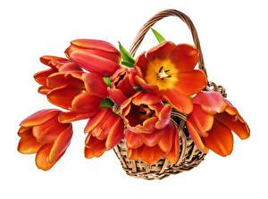 Photo Tulips Many Orange Wicker basket Flowers