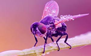 Papel de Parede Desktop Insetos moscas De perto Gota Animalia
