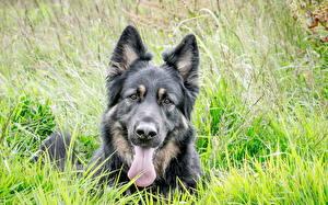 Hintergrundbilder Hunde Shepherd Gras Owczarek belgijski Tervueren Tiere