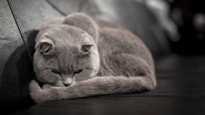 Fotos Katzen Schlafen Grau Tiere