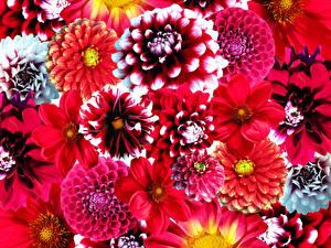 Bilder Georginen Viel Nahaufnahme Rot Blüte