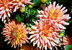 Hintergrundbilder Dahlien Hautnah Rosa Farbe Knospe Blumen