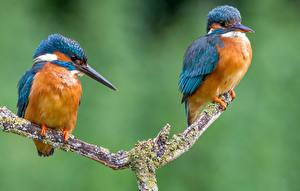 Hintergrundbilder Vögel Eisvogel Ast Zwei Tiere