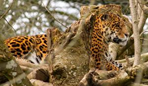 Bilder Große Katze Jaguaren Baumstamm Ast Tiere