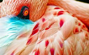 Hintergrundbilder Flamingos Vögel Großansicht Tiere