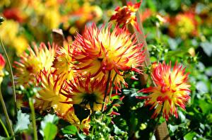 Fotos Georginen Großansicht Blüte