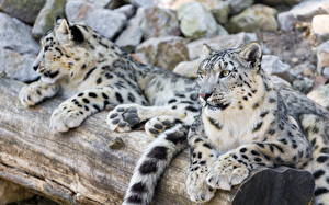 Pictures Big cats Snow leopards 2 Animals