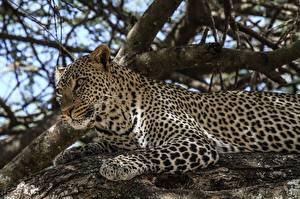 Hintergrundbilder Große Katze Leopard Ast Starren Tiere