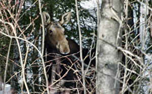 Picture Moose Trees Branches animal