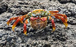 Bilder Krabben - Tiere Gliederfüßer Großansicht
