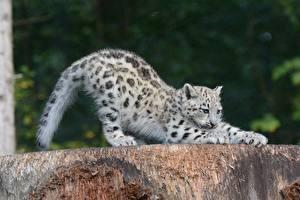 Bilder Große Katze Irbis Jungtiere Tiere