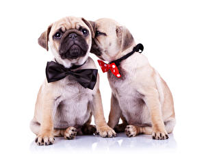 Pictures Dog Pug Two Bowknot Bow tie Animals