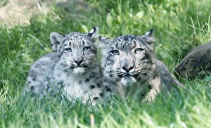Wallpaper Big cats Snow leopards Cubs Two Grass animal