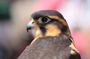 Fotos Falken Vogel Schnabel southern Mexico aplomado