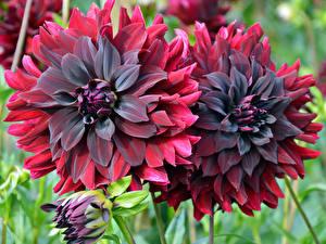 Hintergrundbilder Georginen Nahaufnahme Rot Blüte
