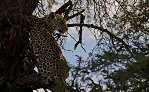 Hintergrundbilder Große Katze Leopard Baumstamm Ast Tiere