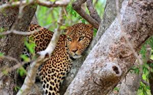 Fotos Große Katze Leopard Baumstamm Ast Tiere