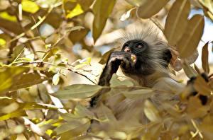 Hintergrundbilder Affen Ast Tiere
